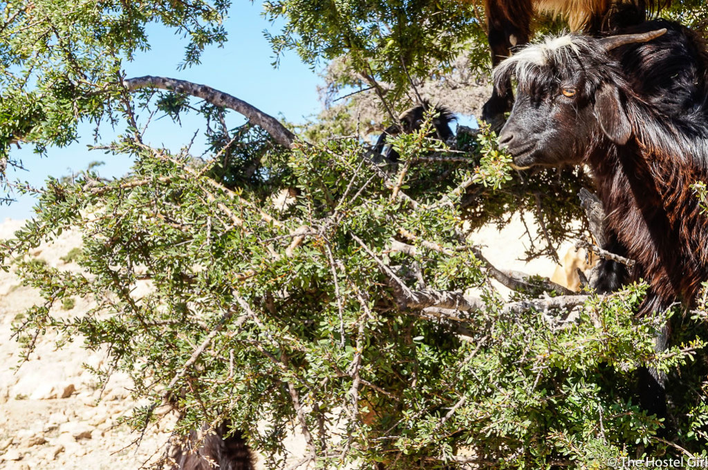 Secrets of Morocco Goats in Trees The Hostel Girl -8